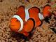 Amphiprion percula - Клоун Перкула